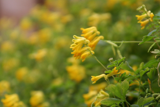 Yellow Corydalis