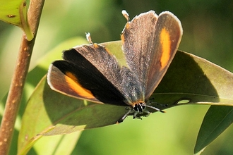 Brown hairstreak butterfly at Hutchinson's Bank