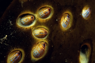 Blue-rayed limpets