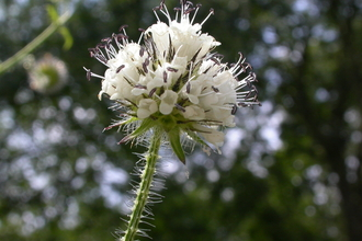 Small teasel