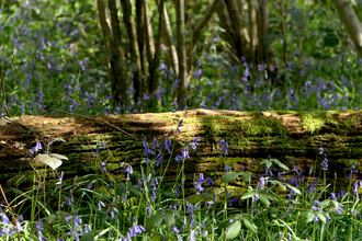 Bluebells at Gutteridge Wood