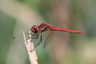Red-veined Darter at woodberry wetlands