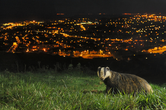Badger on hills