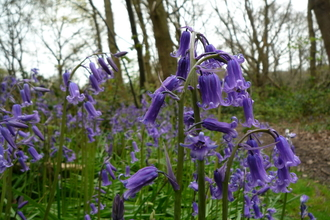 Bluebells at Bramley Bank