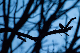 Wren at dawn