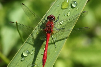 Ruddy Darter on a leaf