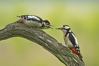 Great spotted woodpecker parent feeding offspring, while perched on a branch.