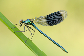 image of male banded demoiselle