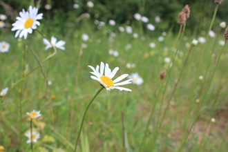 Ox eye daisy in field