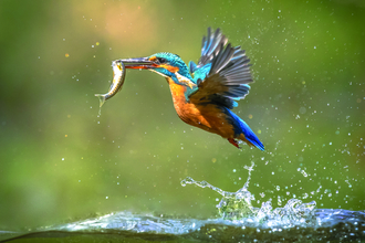 A kingfisher flying out from the water with a fish in its beak