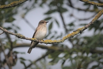 Spotted flycatcher on branch