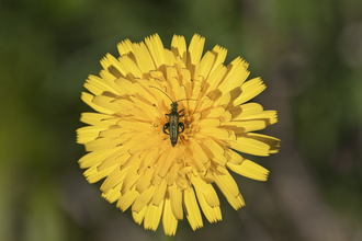 Hawkweed sp. (Hieracium) with Thick-legged Flower Beetle (Oedemera nobilis)