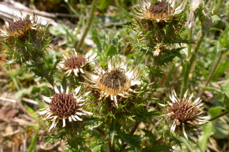 Carline Thistle in vegetation