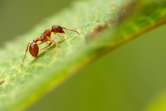 Red ant by Billy Clapham, The Wildlife Trusts