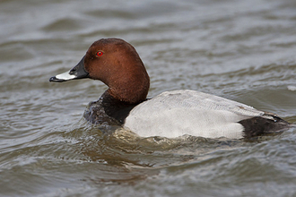 Pochard Walthamstow Wetlands