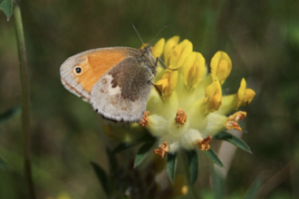 Butterfly identification and monitoring workshop – online