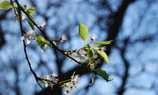 Blackthorn at Sydenham Hill Wood