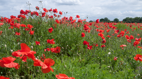 Poppies in an arable field