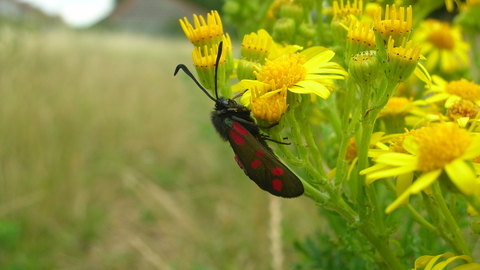 Six spotted burnet moth