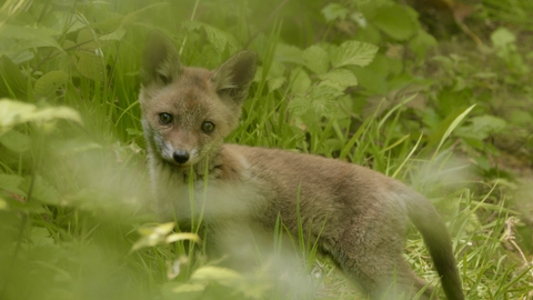 Fox cub at New Cross Gate Cutting