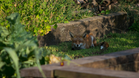 Fox at Centre for Wildlife Gardening