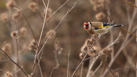 Goldfinch at Walthamstow Wetlands