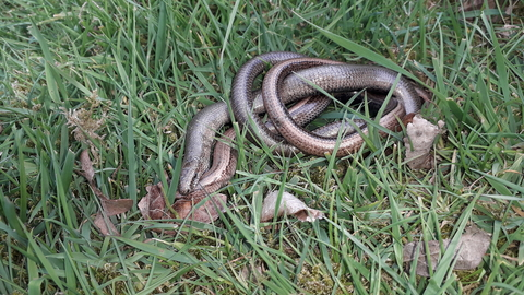 Slow worm pair mating