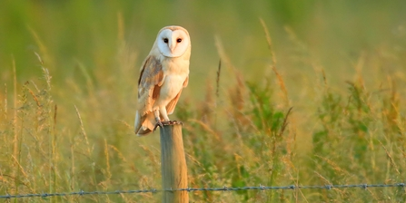 Barn owl standing on a fence post