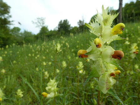 Greater yellow rattle at Hutchinson's Bank