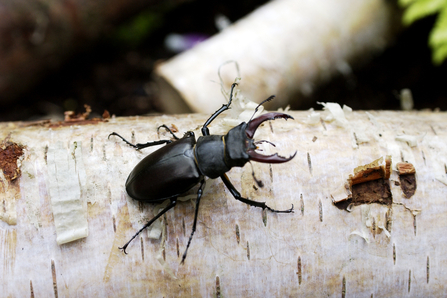 Stag beetle silver birch log