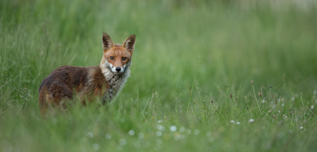 fox in the grass at woodberry wetlands