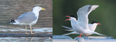 Yellow-legged gull & common tern