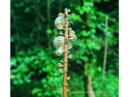 Twig parachute fungus in a forest