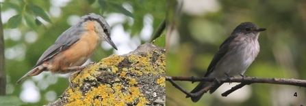 Nuthatch and spotted flycatcher (two separate images)