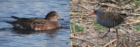 wigeon and water rail