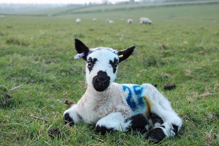 speckled-face lamb lying down
