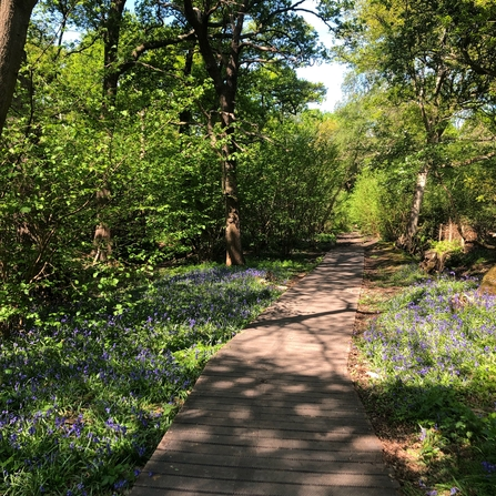 View of a path going through woodland with bluebells