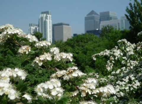 canary wharf from mudchute